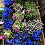 Alpine Plants - Branch Out Garden Centre