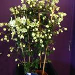 Clematis Cartamanii Avalanche - Branch Out Garden Centre