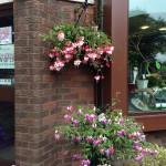 Hanging Basket - Branch Out Garden Centre