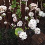 Viburnaum - Branch Out Garden Centre